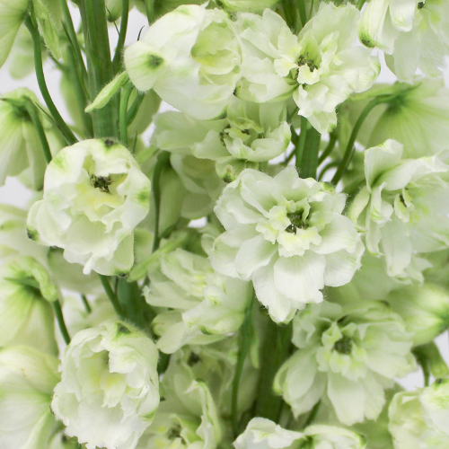 White Delphinium Flower