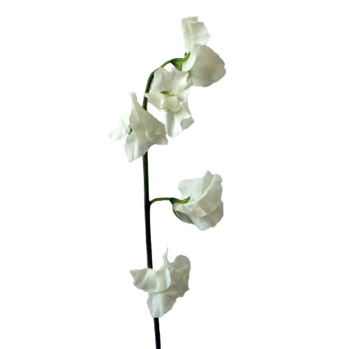 White Designer Japanese Sweet Peas