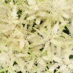 White Astilbe Flower May to October