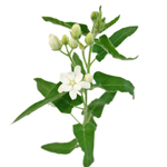 White Stephanotis Bulk Flower