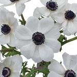 White with Dark Centers Fresh Cut Designer Anemones