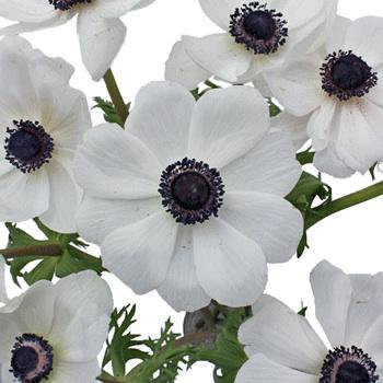 White with Dark Centers Fresh Cut Designer Anemones