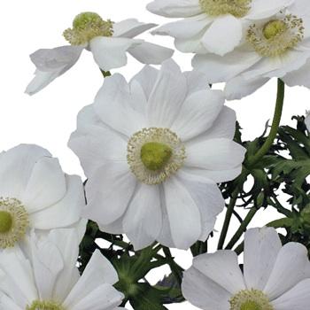 White with Green Center Fresh Cut Designer Anemones