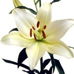White Asiatic Lily Flower