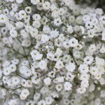 Baby's Breath White Wholesale Flower Up close