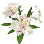 Fresh Alstroemeria Wedding Flower Blush