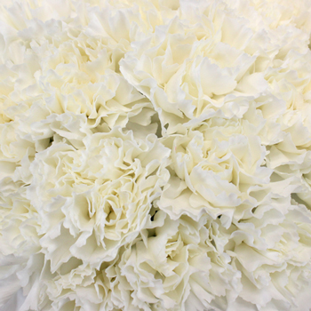 White Carnation Flowers Close up