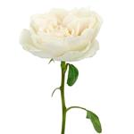 White Cloud Garden Rose in Bulk