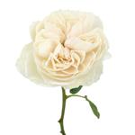 White Cloud Garden Rose Stem
