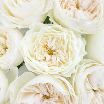 White Cloud Garden Rose for Weddings