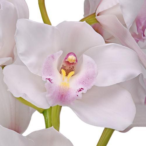 White Cymbidium Orchids Blush Pink Lip