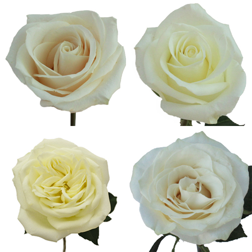 White Wholesale Roses