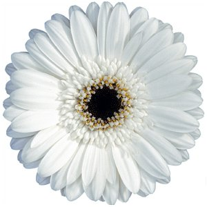 White Gerbera Flower Blooms