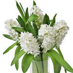White Bulk Hyacinth Flower
