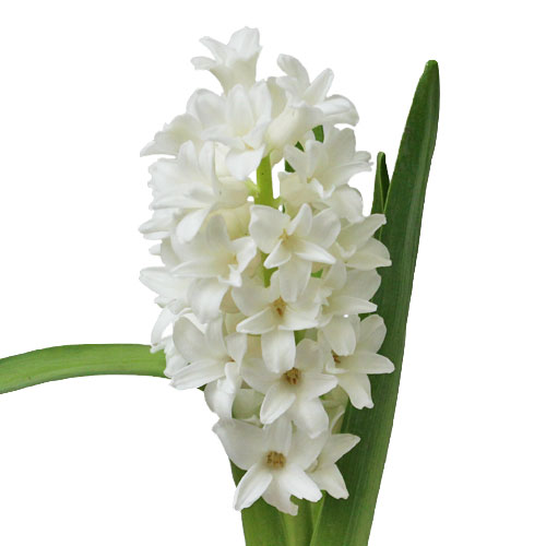 Hyacinth White Flower January to April