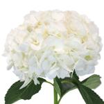 Wedding hydrangea flower