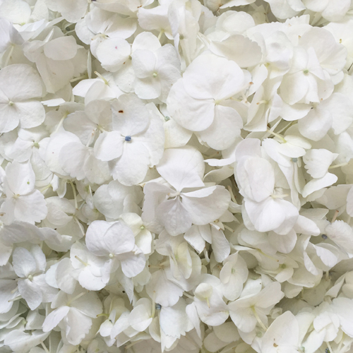 Fresh White Hydrangea Petals