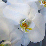 White Phalaenopsis Orchid Bloom close up