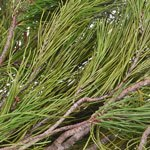Florida Pine - Buy Bulk FREE SHIPPING!