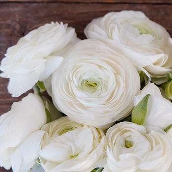 White ranunculus flowers online