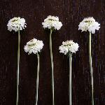 White Scabiosa flower Vanilla Scoop Wholesale