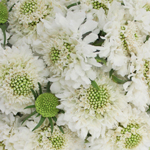 White Scabiosa flower Vanilla Scoop