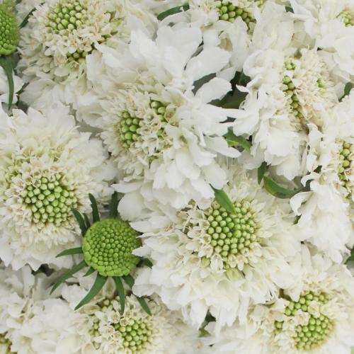 White Scabiosa flower Vanilla Scoop