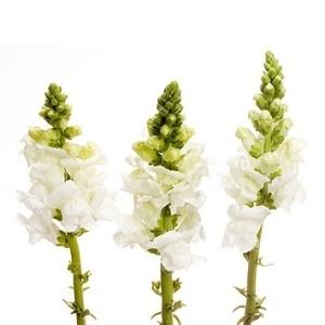 White Snapdragon Flower