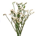 Wholesale White Statice Flowers online