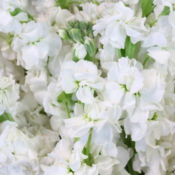 White Stock Wholesale Flower Upclose