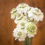 White Scabiosa flower sVanilla Scoop