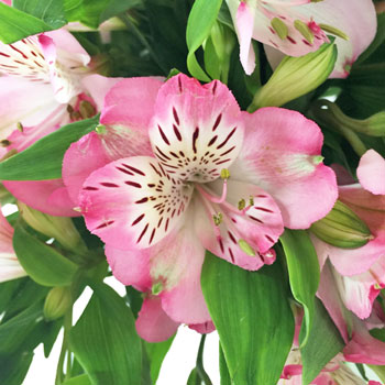 White with Pink Edges Peruvian Lily