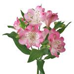 Bulk Alstromeria Mayfair flower