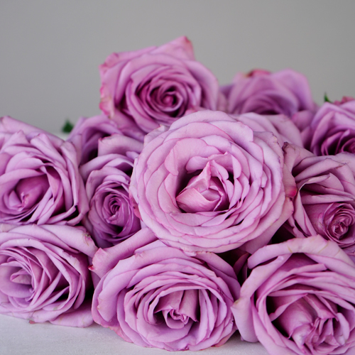 Valentine\'s Lavender Rose Special