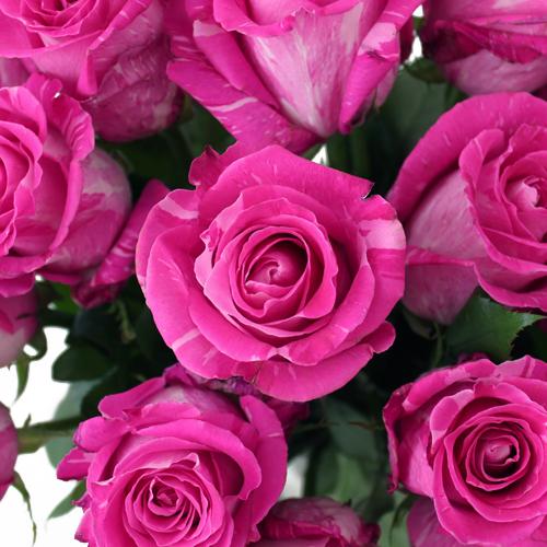 Wild One Pink Rose