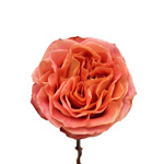 fresh cut garden roses with peach and orange color wedding themes