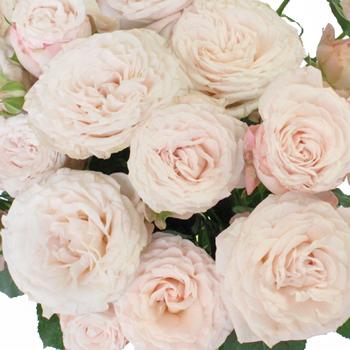Wispy Pink Bulk Spray Rose