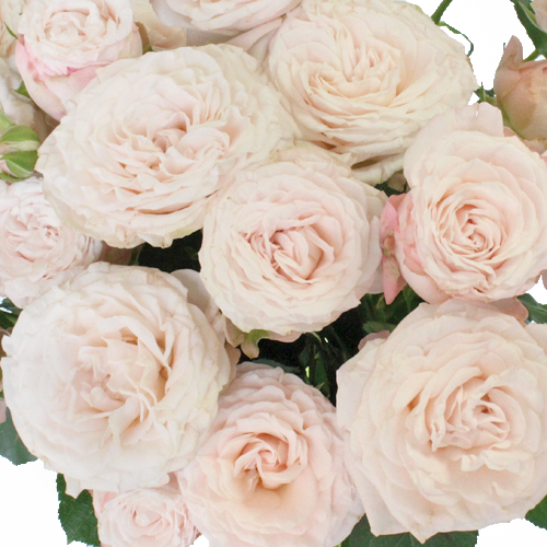 Wispy Pink Bulk Spray Rose