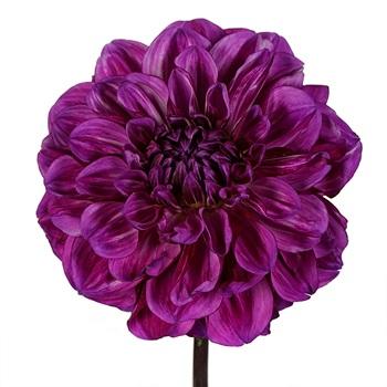 Razzle Dazzle Dahlia Flower