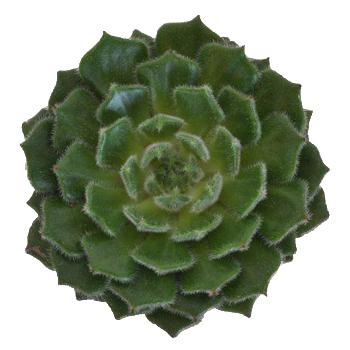 Fuzzy Succulent Flower