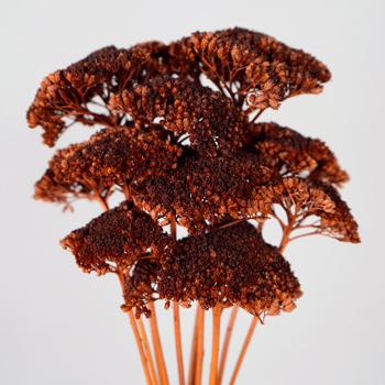 Dried Chocolate Truffle Yarrow