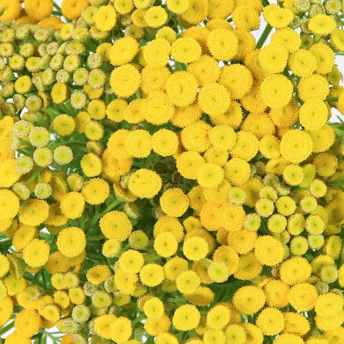 Yarrow Tansy Filler Flower