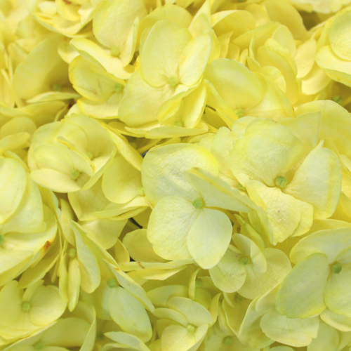 Hydrangea Enhanced Yellow Flower