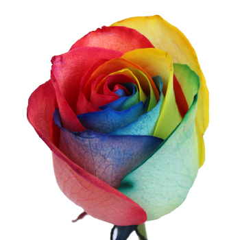 Primary Colors Rainbow Roses