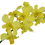 Fresh Cut Dendrobium Dyed Yellow Orchid Flowers Variety