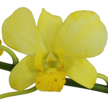 Dyed Yellow Loose Orchid Blooms