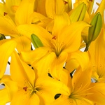 Yellow Asiatic Lily Flower