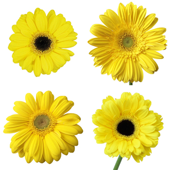 Gerbera Flower Yellow