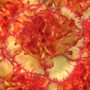 Yellow and Red Bulk Carnations