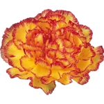 Wholesale Carnation Flowers Bicolor Yellow and Purple